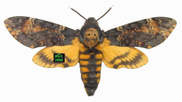 Le sphinx t te de mort acherontia atropos biologie et d veloppement - Gros papillon de nuit dangereux ...