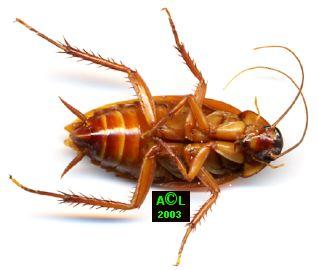 Les blattes - Cafard de maison ...
