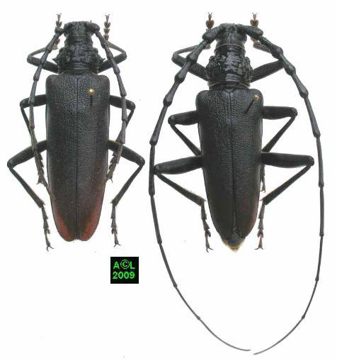 insecte capricorne des maisons. Black Bedroom Furniture Sets. Home Design Ideas