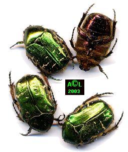 Insectes Aurat1gf