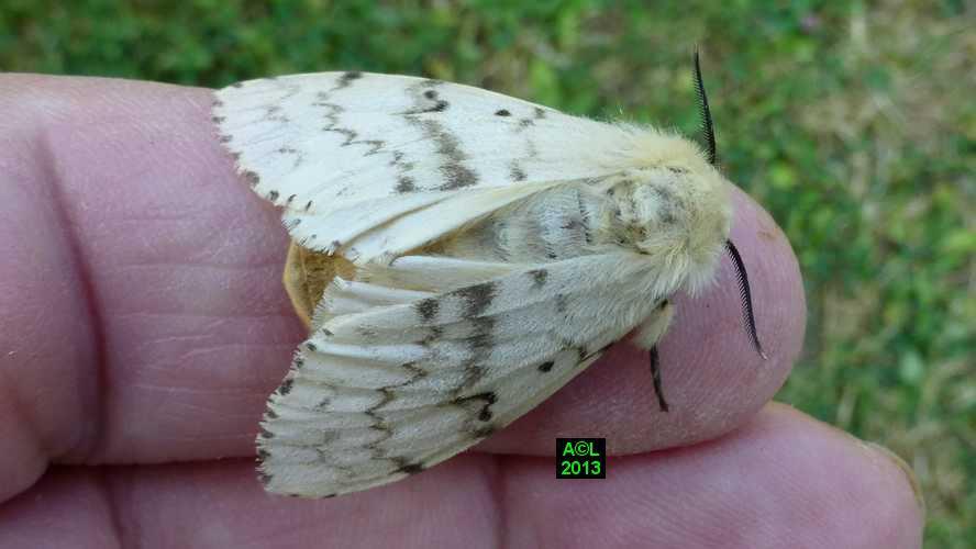 papillon bombyx دودة القز disp86gf.JPG
