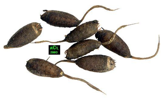 l eristale ou ver 224 queue de rat eristalis tenax biologie et d 233 veloppement