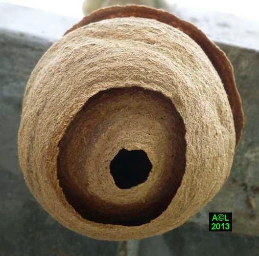 Le frelon asiatique vespa velutina biologie - Petit nid de frelon ...