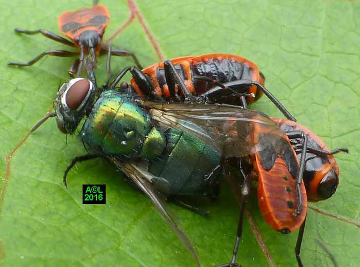 Repulsif insecte gendarme - Insecte rouge et noir ...