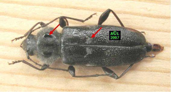 Le capricorne des maisons hylotrupes bajulus biologie et d veloppement - Reconnaitre les insectes xylophages ...
