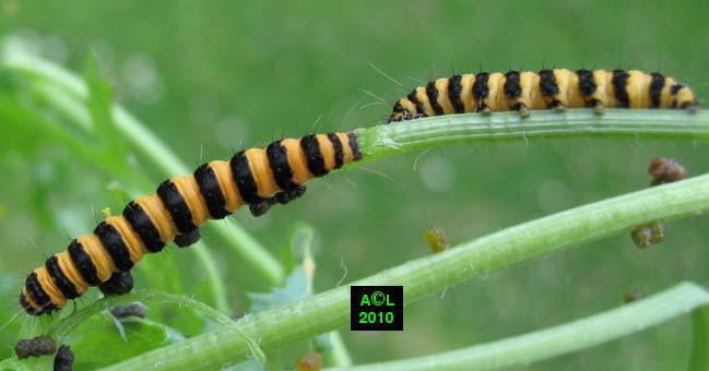 Ecaille du s ne on ou goutte de sang tyria jacobaeae biologie et d veloppement - Chenille jaune et noire danger ...