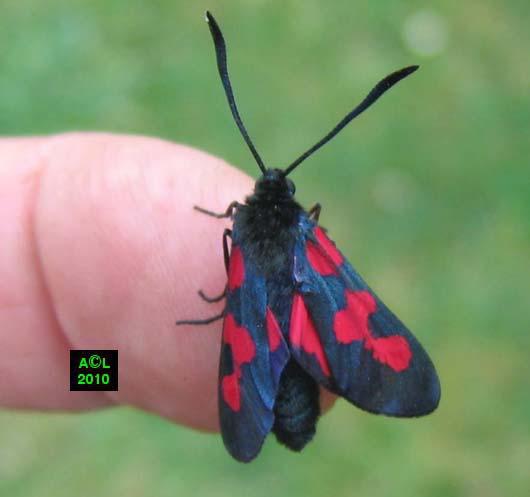 Ecaille du s ne on ou goutte de sang tyria jacobaeae biologie et d veloppement - Insecte rouge et noir ...