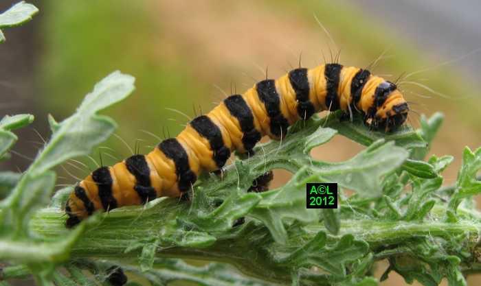 Ecaille du s ne on ou goutte de sang tyria jacobaeae biologie et d veloppement - Chenille orange et noir ...