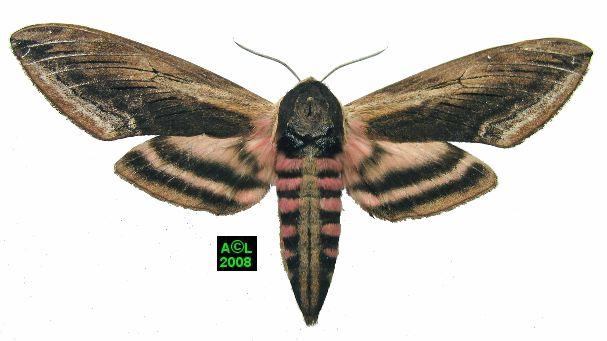Le sphinx du tro ne sphinx ligustri biologie et d veloppement - Gros papillon de nuit dangereux ...