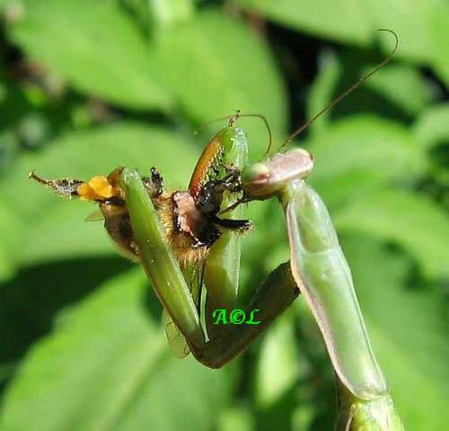 la Mante religieuse (Mantis religiosa), biologie et