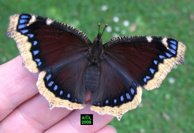 Photo du papillon Morio