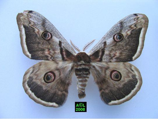 Le grand paon de nuit saturnia pyri biologie et d veloppement - Gros papillon de nuit dangereux ...