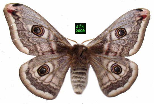 Le petit paon de nuit saturnia pavonia biologie et d veloppement - Gros papillon de nuit dangereux ...