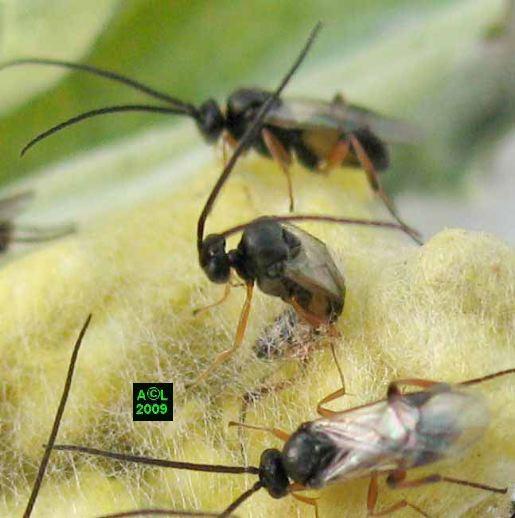 http://www.insectes-net.fr/pieride/images/pier116gf.jpg