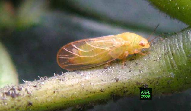 Psylle de l 39 albizia acizzia jamatonica biologie et d veloppement - Psylle de l olivier ...