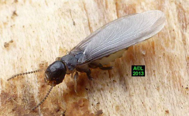 les termites biologie morphologie d tection pr vention l gislation. Black Bedroom Furniture Sets. Home Design Ideas