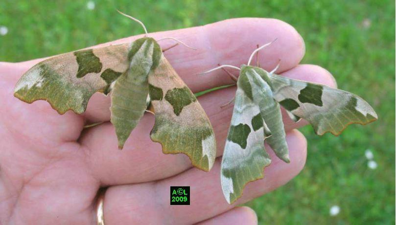 Le sphinx du tilleul mimas tiliae biologie et d veloppement - Duree de vie papillon de nuit ...