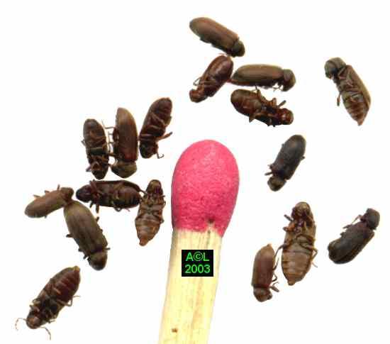 bete qui mange le bois xylocopa sp f insecte mangeant. Black Bedroom Furniture Sets. Home Design Ideas