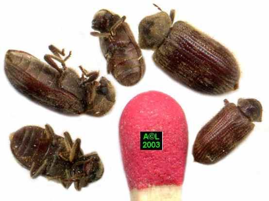 Insectes du bois meubles for Insecte bois meuble