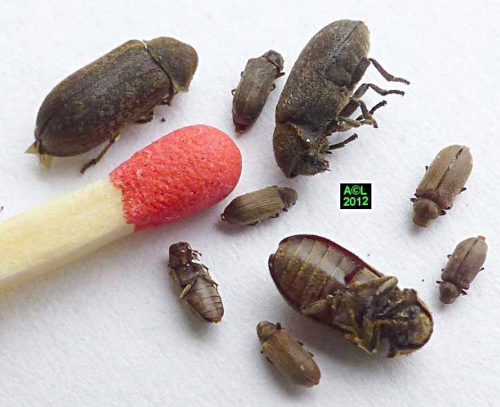 Insecte Qui Mange Du Bois u2013 Myqto com # Insecte Qui Mange Le Bois